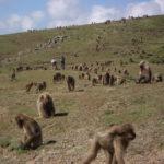 Walk with the geladas (Simien mountains)